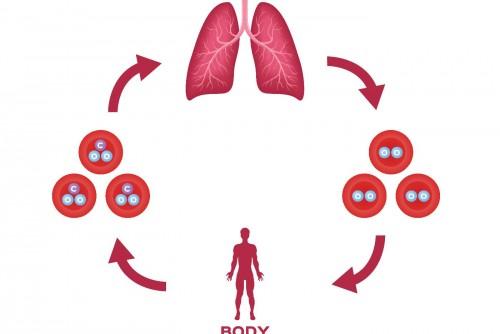Die menschliche Atmung #1